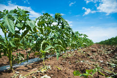 Rows of tomato plants Stock Photo