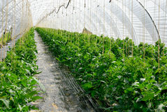 Rows of tomato plants in a greenhouse Royalty Free Stock Image