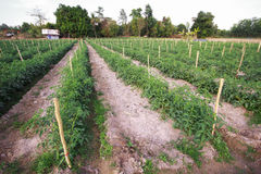 Rows of tomato plants Royalty Free Stock Image