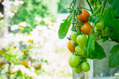 Rows of tomato plants growing in greenhouse Royalty Free Stock Photo