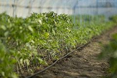 Rows of tomato plants growing inside big industrial greenhouse with drip irrigation Royalty Free Stock Photo