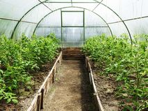 Rows of tomato plants growing inside greenhouse. royalty free stock photography