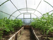 Rows of tomato plants growing inside greenhouse. stock images