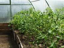 Rows of tomato plants growing inside greenhouse. stock photo