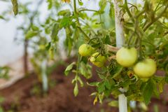 Rows of tomatoes ripening in a dutch greenhouse stock image