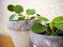 Close up of two young pilea peperomioides or pancake plants stock photos