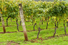 Rows of trained and supported vines royalty free stock image