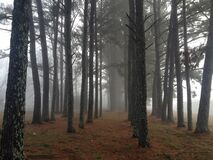 Rows of Trees Amidst Fog Royalty Free Stock Photo