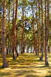 Rows of trees being tapped in a plantation. Royalty Free Stock Photos