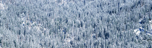 Rows of trees covered in snow Royalty Free Stock Photography