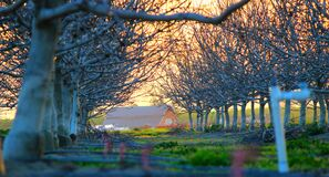 Rows of Trees on Farm with Barn Royalty Free Stock Photos