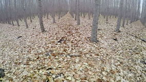 Rows of trees on a farm in teh fall stock footage
