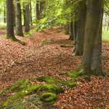 Rows of trees in forest. Rows of trees in summer in forest with tapestry of fallen leaves - square Royalty Free Stock Photography