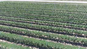 Rows of trees in the garden. Aerophotographing, top view. Landscape apple orchards stock video