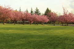 Rows of trees having pink flowers royalty free stock photo