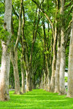 Rows of trees and path in green grass Stock Images