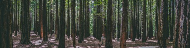 Rows of trees at the Redwood Forest Warburton in the Yarra Valley. Melbourne, Australia royalty free stock photos