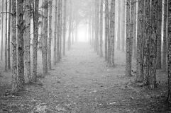 Rows of Trees Royalty Free Stock Images