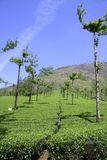 Rows of trees at tea plantation, Royalty Free Stock Images