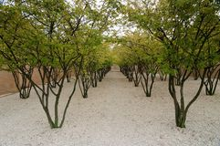 Rows of trees in Vaduz Royalty Free Stock Images