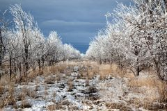 Rows of trees in winter Royalty Free Stock Photography