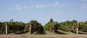 Rows Of Trellis Dried Vines. Royalty Free Stock Photo