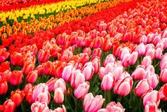 Rows of tulip flowers Royalty Free Stock Photos