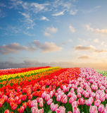 Rows of tulip flowers Stock Photography