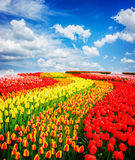 Rows of tulip flowers. Rows of red, orange and yellow tulip flowers stripes under blue sky, Netherlands, toned stock photography