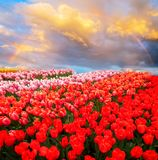 Rows of tulip flowers. Under sky with rainbow Netherlands royalty free stock image