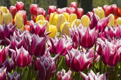 Rows of tulips Royalty Free Stock Photos