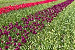 Rows of tulips Stock Images