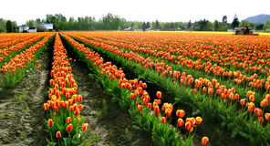 Rows of Tulips. Tulips at the Skagit Valley Tulip Festival in Washington state, USA royalty free stock photos