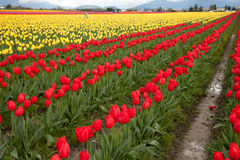 Rows of tulips bloom in Washington state. Stock Photos