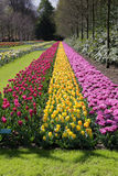 Rows of tulips Royalty Free Stock Images