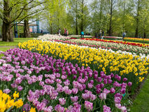 Rows of tulips and daffodils in spring in Keukenhof, Netherlands Royalty Free Stock Photography