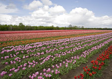 Rows of tulips on a field Royalty Free Stock Photos