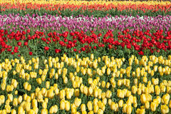 Rows of Tulips. A field of tulips shows the many colors these flowers can come in Royalty Free Stock Photography
