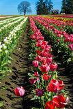 Rows of Tulips Royalty Free Stock Photography