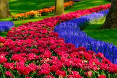 Rows of tulips and muscari hyacinths at Keukenhof Gardens, Lisse, South Holland. Photographed in HDR high dynamic range. Close up of vibrant colour tulips and royalty free stock photos