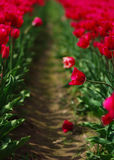 Rows of Tulips. Red Tulips grow in rows at the Agassiz Tulip Festival, BC, Canada Royalty Free Stock Image