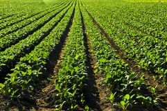 Rows of turnip plants in a field Stock Image