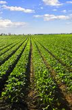 Rows of turnip plants in a field royalty free stock photo