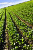 Rows of turnip plants in a field royalty free stock photography