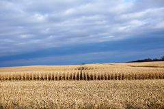 Rows of uncut maize in a partly harvested field Royalty Free Stock Photos