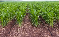 Rows of vegetable crops Stock Photography