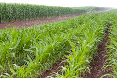 Rows of vegetable crops Stock Image
