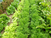 Rows of vegetables Royalty Free Stock Photos