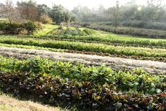 Rows Of Vegetables Growing On Small Farm Stock Photo