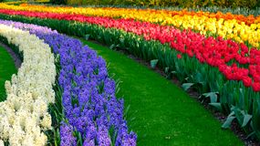 Rows of vibrant colour tulips on display at Keukenhof Gardens, Lisse, South Holland. Photographed in HDR high dynamic range. Vibrant colour tulips on display at royalty free stock photos
